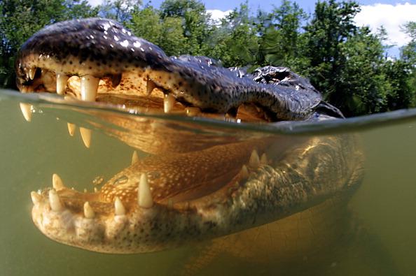 Swimming With Alligators